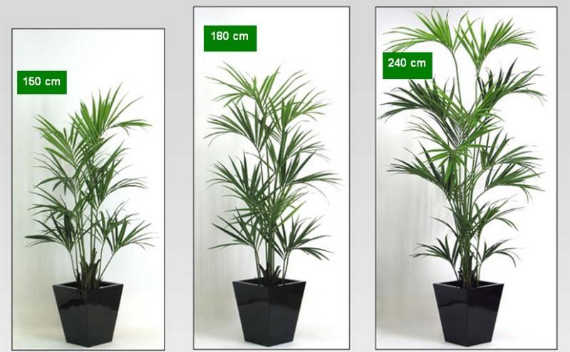 Kentia 150 cm lvroses for Kentia pianta